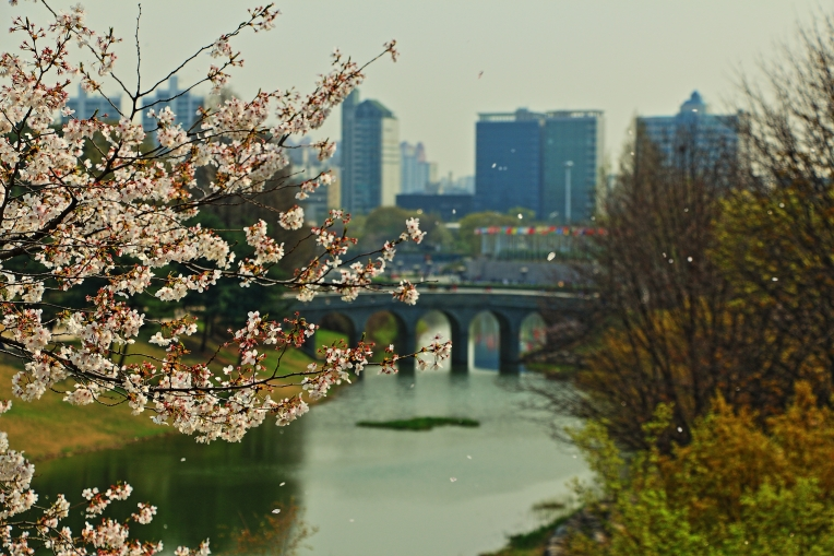 Cherry Blossoms in Olympic Park, Seoul, Korea
